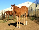 Sixey In Red, 2005 Red Roan filly